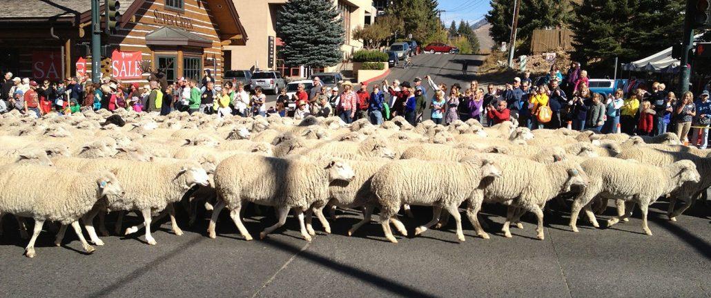 Sheep crossing road in Ketchum, Idaho